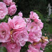 09-06-27 BlA tenpracht in der Rosenvilla zu Paretz2